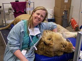 Anesthetized African lion