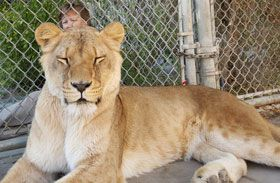Lioness relaxing for acupuncture